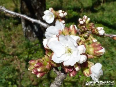 Cerezos en flor en el Valle del Jerte - Despertar del cerezo en flor;puente senderismo senderismo pu